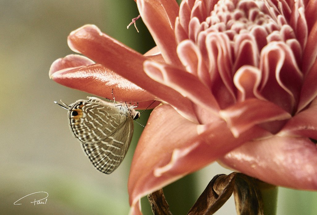 Butterfly headfirst on a blossom