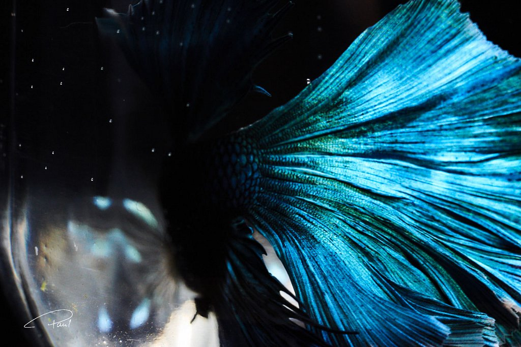 Blue Cupang with beautiful tail