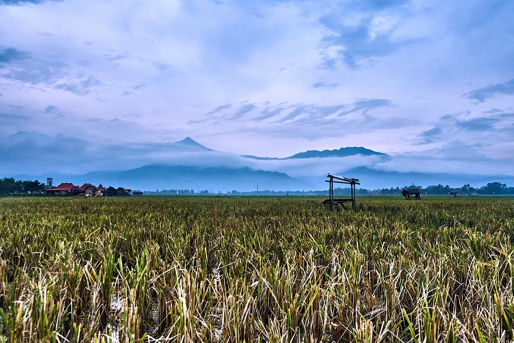 Cloudy day at the paddy fields