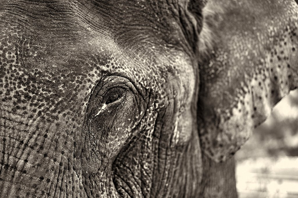 Eye contact with an Elephant