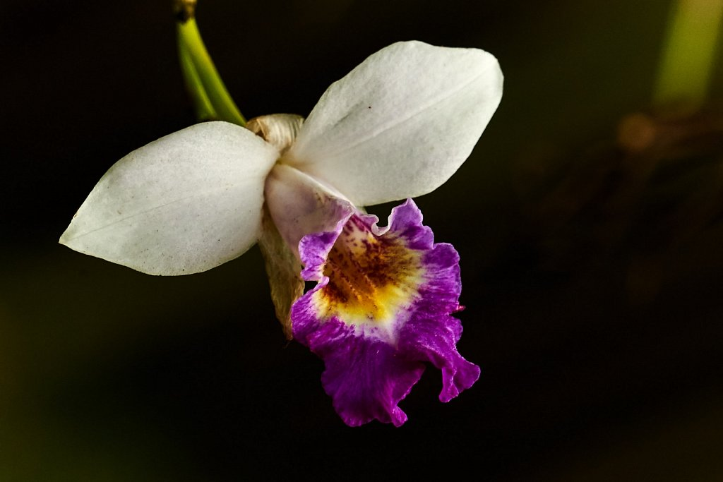A wild orchid blossom