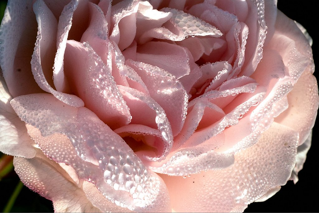 Macro of a rose in the early morning.