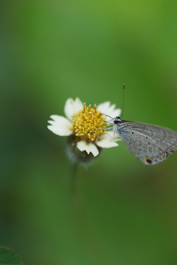 Long Tailed Blue on white flower